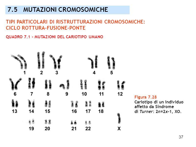 37 7.5 MUTAZIONI CROMOSOMICHE Figura 7.28 Cariotipo di un individuo affetto da Sindrome di Turner: 2n=2x–1, XO. TIPI PARTICOLARI DI RISTRUTTURAZIONI C