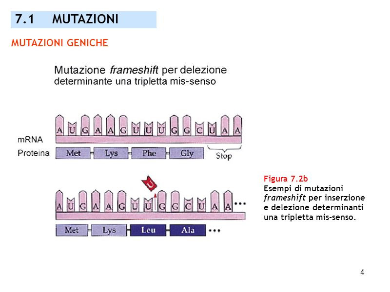 4 Figura 7.2b Esempi di mutazioni frameshift per inserzione e delezione determinanti una tripletta mis-senso. 7.1 MUTAZIONI MUTAZIONI GENICHE