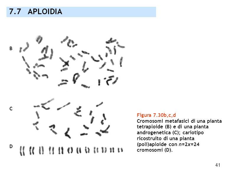 41 7.7 APLOIDIA Figura 7.30b,c,d Cromosomi metafasici di una pianta tetraploide (B) e di una pianta androgenetica (C); cariotipo ricostruito di una pi