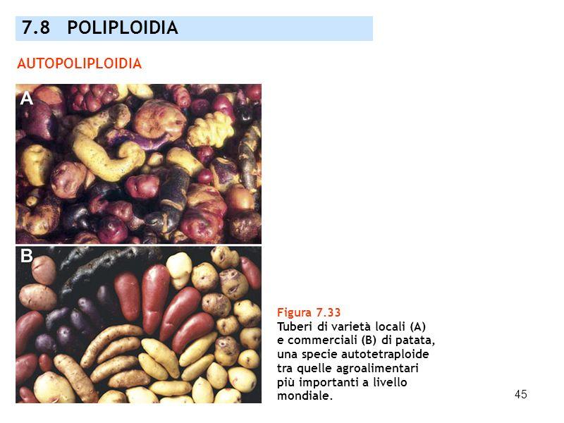 45 7.8 POLIPLOIDIA AUTOPOLIPLOIDIA Figura 7.33 Tuberi di varietà locali (A) e commerciali (B) di patata, una specie autotetraploide tra quelle agroali