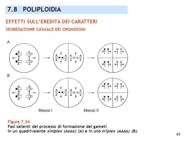 46 Figura 7.34 Fasi salienti del processo di formazione dei gameti in un quadrivalente simplex (Aaaa) (A) e in uno triplex (AAAa) (B). 7.8 POLIPLOIDIA