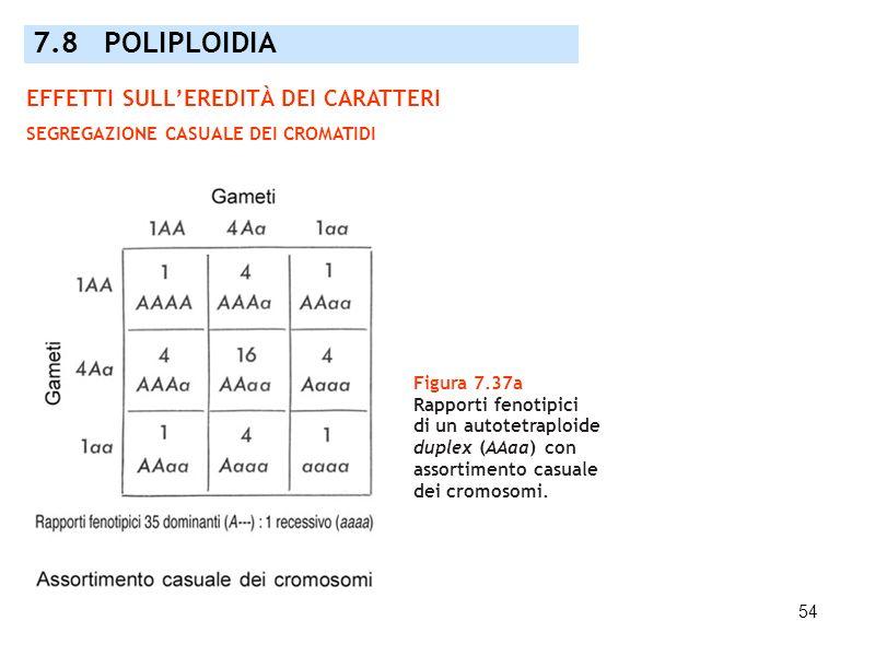 54 Figura 7.37a Rapporti fenotipici di un autotetraploide duplex (AAaa) con assortimento casuale dei cromosomi. 7.8 POLIPLOIDIA EFFETTI SULLEREDITÀ DE