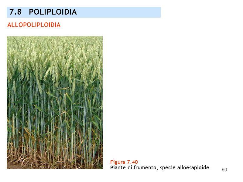 60 ALLOPOLIPLOIDIA Figura 7.40 Piante di frumento, specie alloesaploide. 7.8 POLIPLOIDIA
