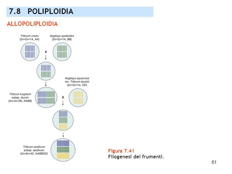 61 Figura 7.41 Filogenesi dei frumenti. 7.8 POLIPLOIDIA ALLOPOLIPLOIDIA
