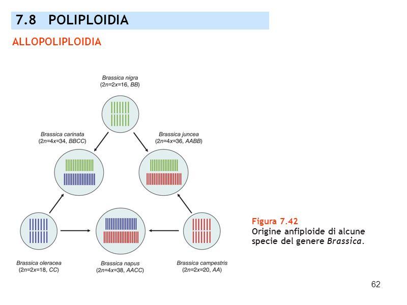 62 Figura 7.42 Origine anfiploide di alcune specie del genere Brassica. 7.8 POLIPLOIDIA ALLOPOLIPLOIDIA