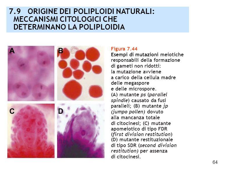 64 7.9 ORIGINE DEI POLIPLOIDI NATURALI: MECCANISMI CITOLOGICI CHE DETERMINANO LA POLIPLOIDIA Figura 7.44 Esempi di mutazioni meiotiche responsabili de