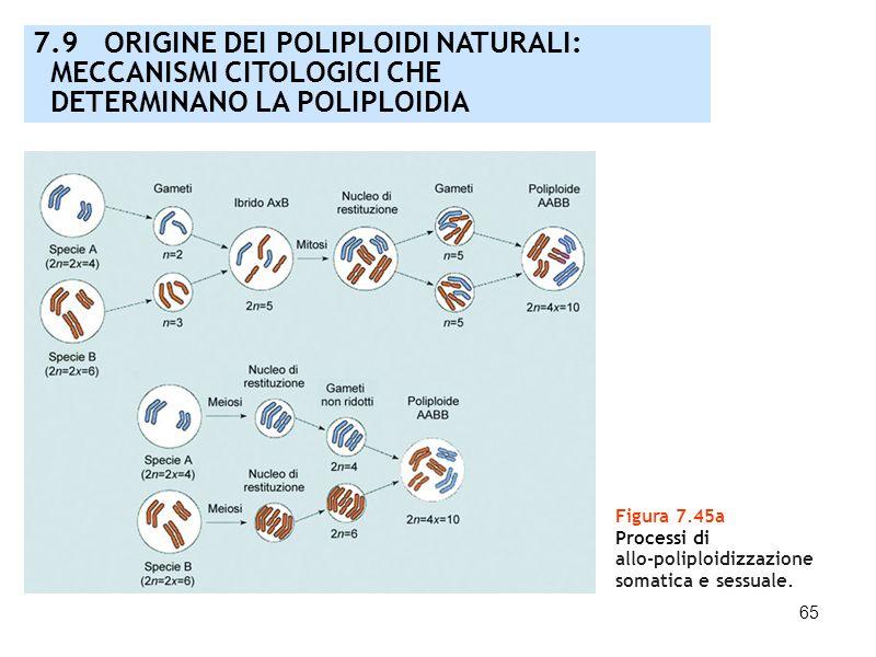 65 Figura 7.45a Processi di allo-poliploidizzazione somatica e sessuale. 7.9 ORIGINE DEI POLIPLOIDI NATURALI: MECCANISMI CITOLOGICI CHE DETERMINANO LA