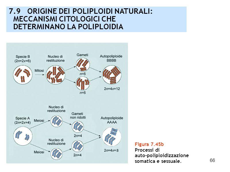 66 Figura 7.45b Processi di auto-poliploidizzazione somatica e sessuale. 7.9 ORIGINE DEI POLIPLOIDI NATURALI: MECCANISMI CITOLOGICI CHE DETERMINANO LA
