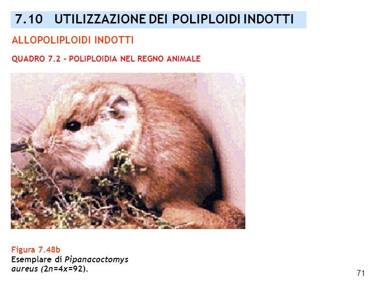 71 Figura 7.48b Esemplare di Pipanacoctomys aureus (2n=4x=92). 7.10 UTILIZZAZIONE DEI POLIPLOIDI INDOTTI QUADRO 7.2 – POLIPLOIDIA NEL REGNO ANIMALE AL