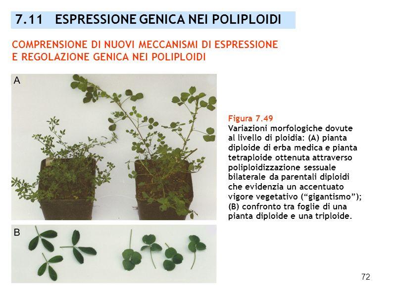 72 7.11 ESPRESSIONE GENICA NEI POLIPLOIDI Figura 7.49 Variazioni morfologiche dovute al livello di ploidia: (A) pianta diploide di erba medica e piant
