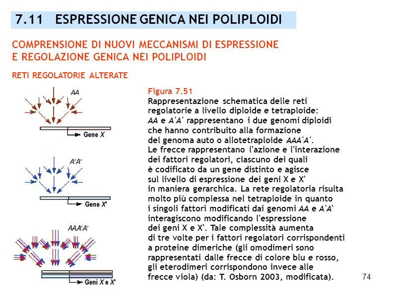 74 Figura 7.51 Rappresentazione schematica delle reti regolatorie a livello diploide e tetraploide: AA e A'A' rappresentano i due genomi diploidi che