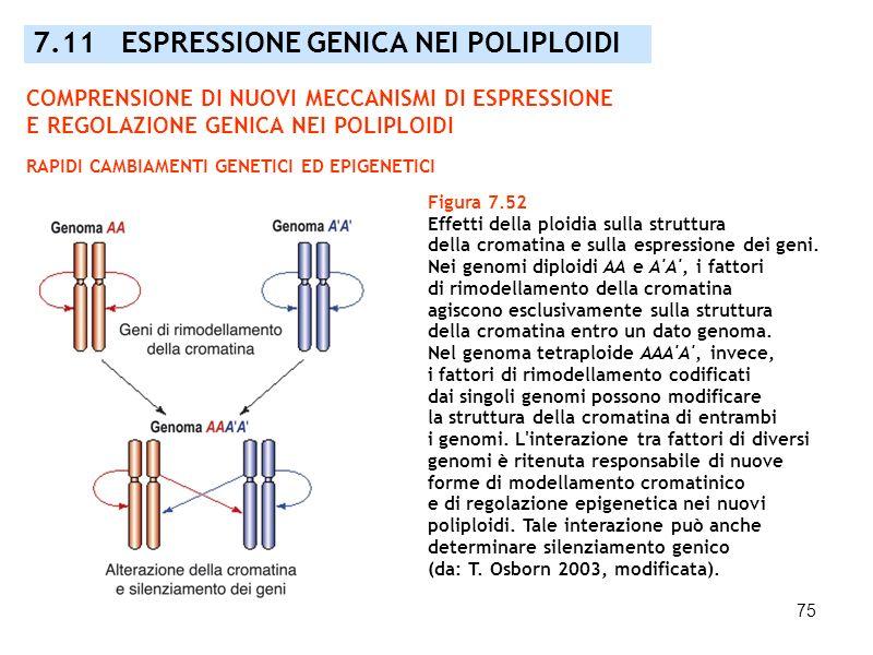 75 Figura 7.52 Effetti della ploidia sulla struttura della cromatina e sulla espressione dei geni. Nei genomi diploidi AA e A'A', i fattori di rimodel