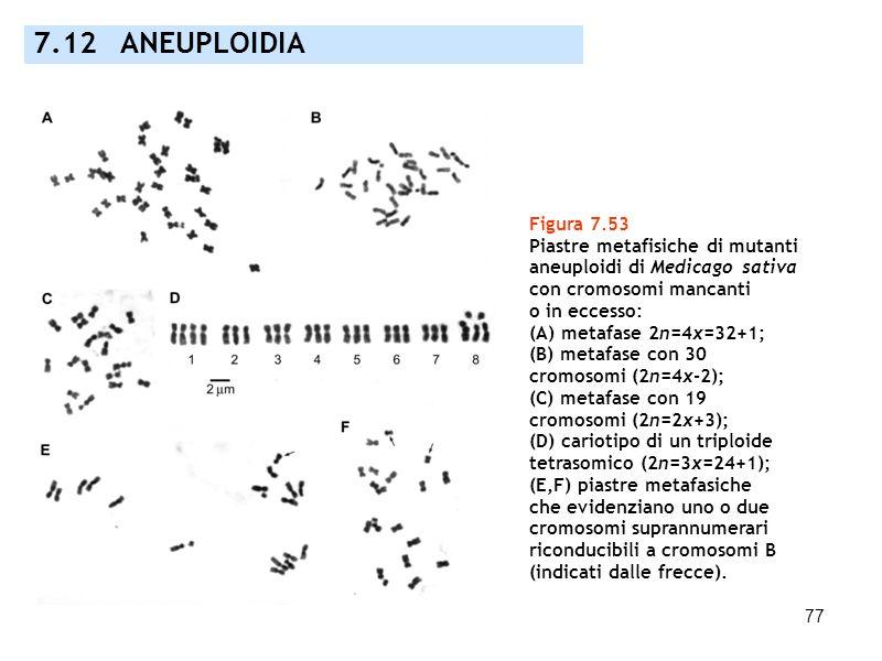 77 7.12 ANEUPLOIDIA Figura 7.53 Piastre metafisiche di mutanti aneuploidi di Medicago sativa con cromosomi mancanti o in eccesso: (A) metafase 2n=4x=3