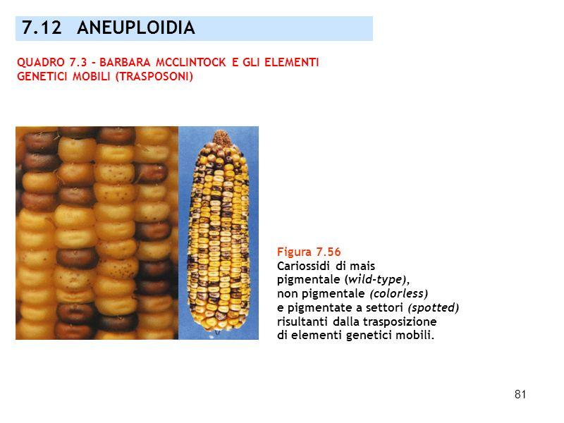 81 7.12 ANEUPLOIDIA Figura 7.56 Cariossidi di mais pigmentale (wild-type), non pigmentale (colorless) e pigmentate a settori (spotted) risultanti dall