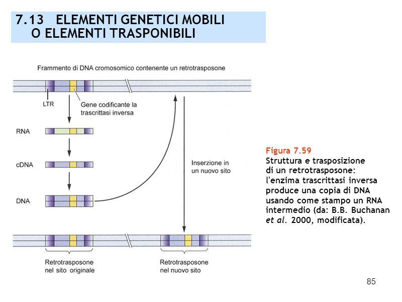 85 Figura 7.59 Struttura e trasposizione di un retrotrasposone: l'enzima trascrittasi inversa produce una copia di DNA usando come stampo un RNA inter