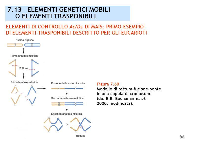 86 Figura 7.60 Modello di rottura-fusione-ponte in una coppia di cromosomi (da: B.B. Buchanan et al. 2000, modificata). ELEMENTI DI CONTROLLO Ac/Ds DI