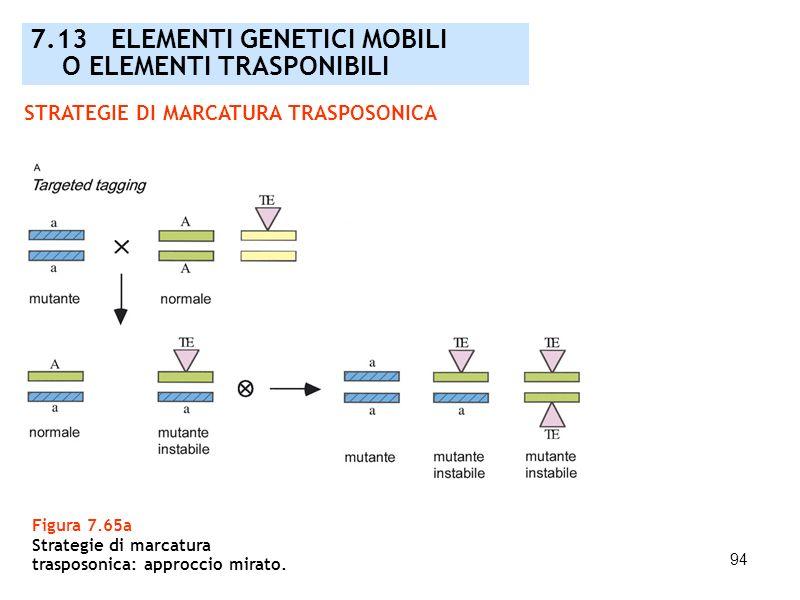 94 STRATEGIE DI MARCATURA TRASPOSONICA Figura 7.65a Strategie di marcatura trasposonica: approccio mirato. 7.13 ELEMENTI GENETICI MOBILI O ELEMENTI TR