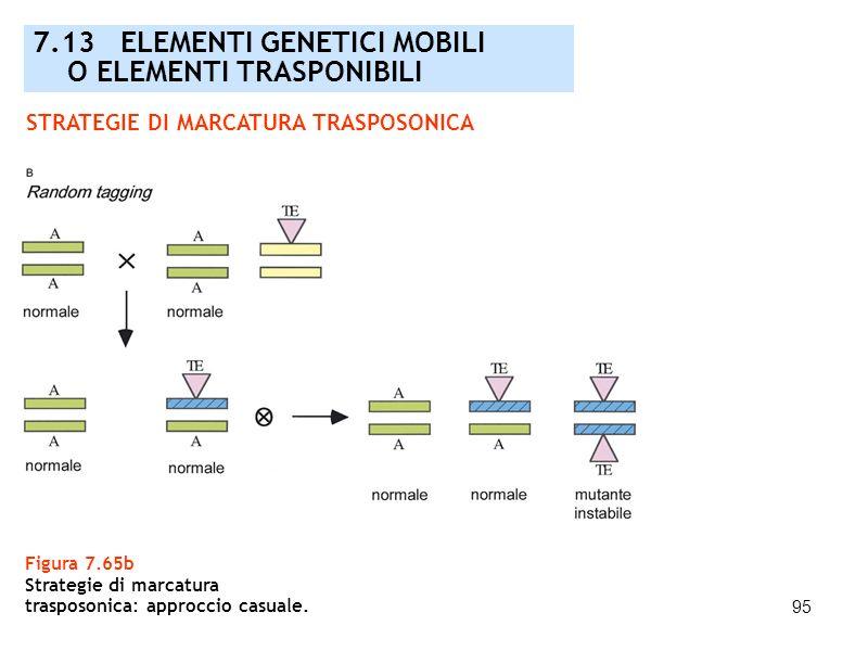 95 Figura 7.65b Strategie di marcatura trasposonica: approccio casuale. 7.13 ELEMENTI GENETICI MOBILI O ELEMENTI TRASPONIBILI STRATEGIE DI MARCATURA T