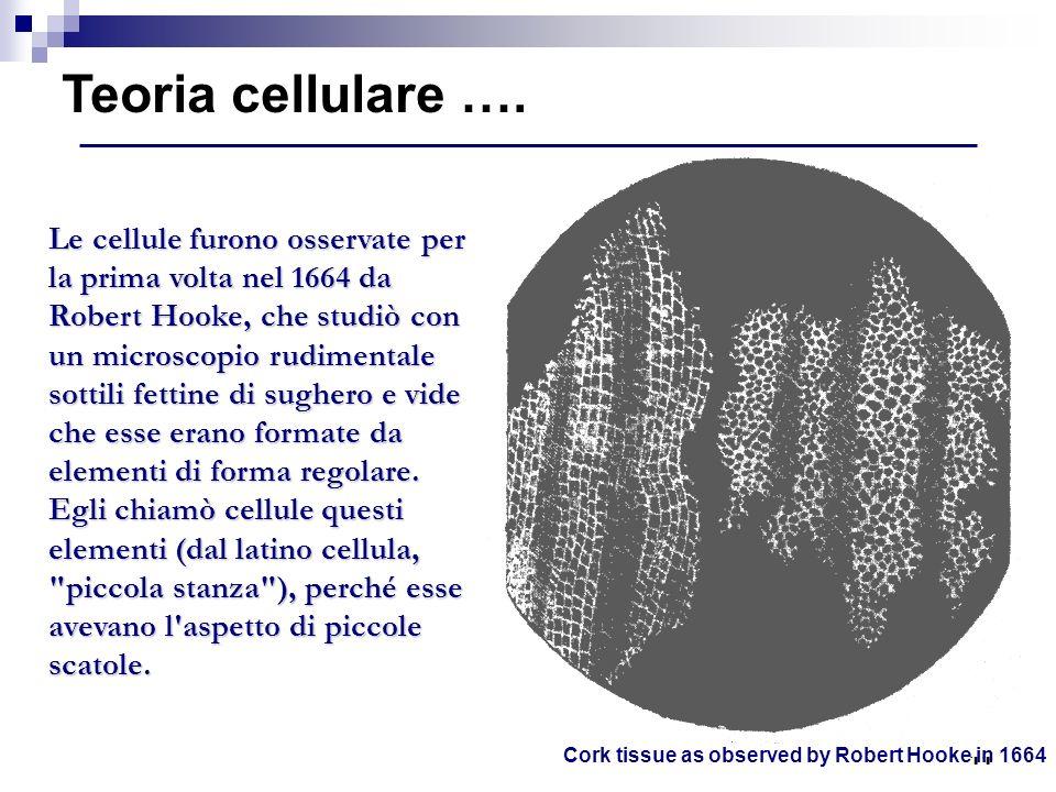 11 Cork tissue as observed by Robert Hooke in 1664 Teoria cellulare …. Le cellule furono osservate per la prima volta nel 1664 da Robert Hooke, che st