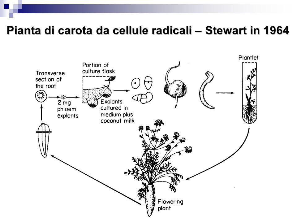 16 Pianta di carota da cellule radicali – Stewart in 1964