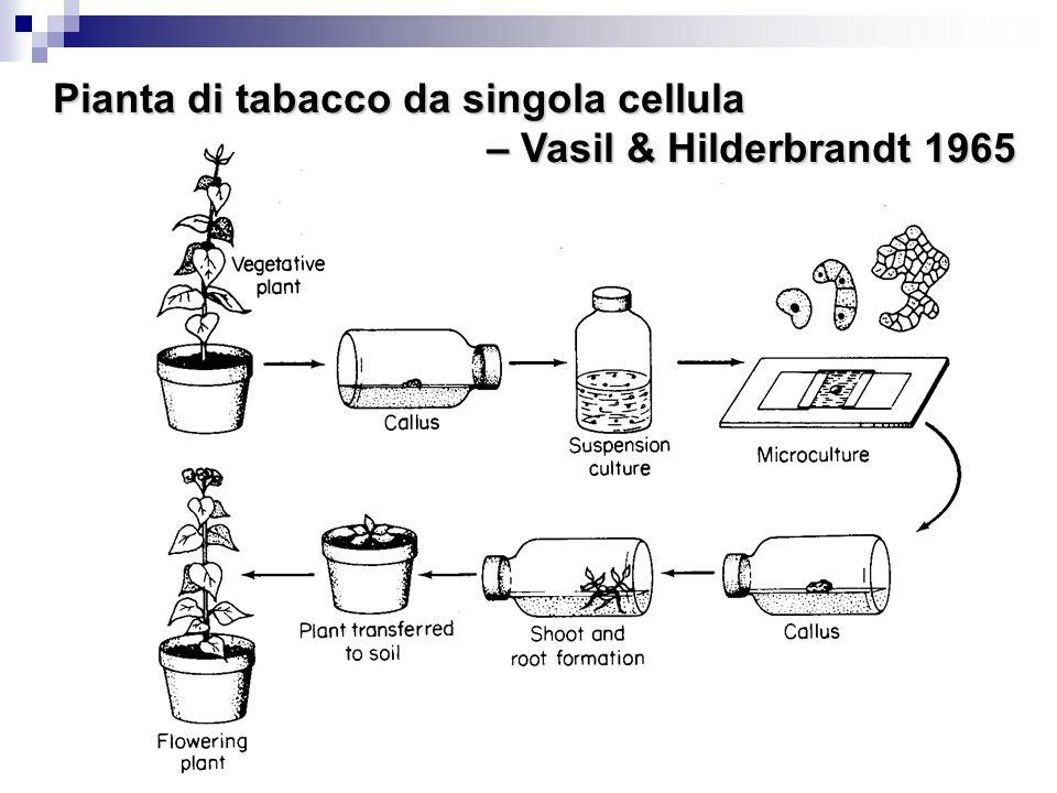17 Pianta di tabacco da singola cellula – Vasil & Hilderbrandt 1965