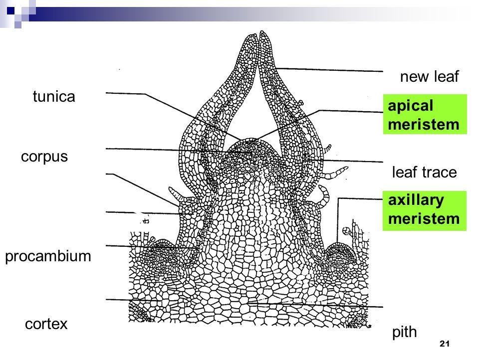 21 leaf trace procambium tunica new leaf corpus pith cortex apical meristem axillary meristem