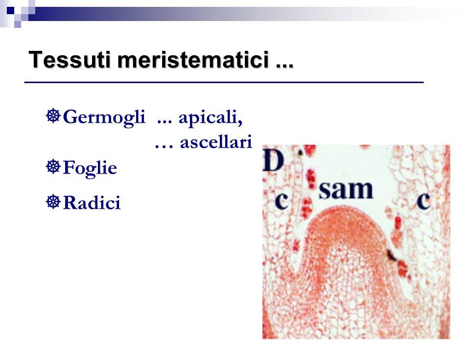 22 ]Germogli... apicali, … ascellari ]Foglie ]Radici Tessuti meristematici...
