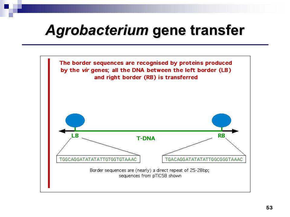 53 Agrobacterium gene transfer