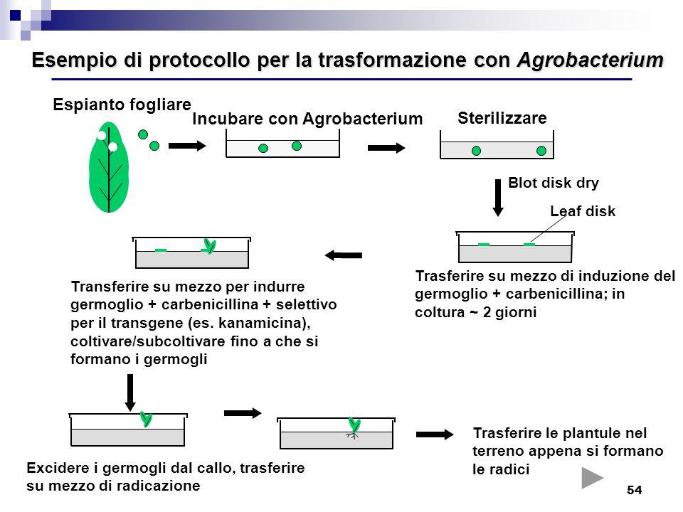 54 Esempio di protocollo per la trasformazione con Agrobacterium Sterilizzare Trasferire su mezzo di induzione del germoglio + carbenicillina; in colt