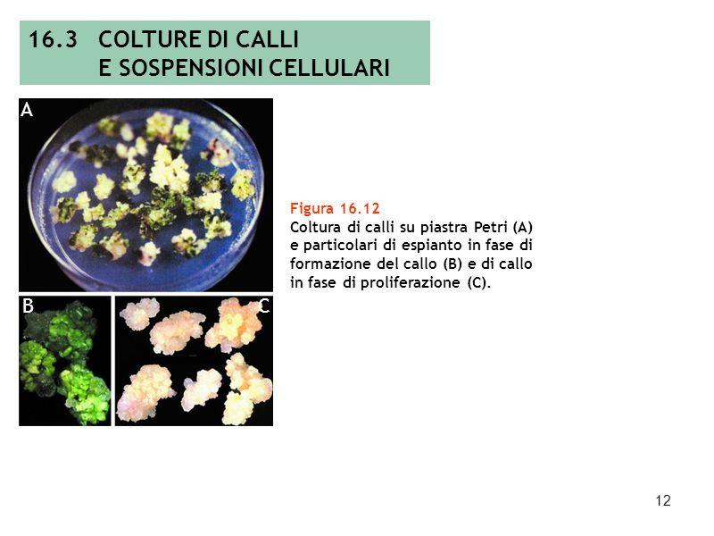 11 Figura 16.11a Fasi dellembriogenesi somatica in carota. EMBRIOGENESI A B Figura 16.11b Callo con strutture embrioidiche (A) ed embrione somatico ma