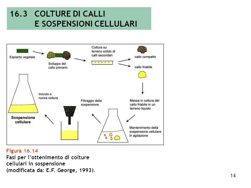 13 Figura 16.13 Sospensione cellulare: beuta con sospensione liquida (A), piastra con sospensione concentrata (B) e particolare degli aggregati cellul