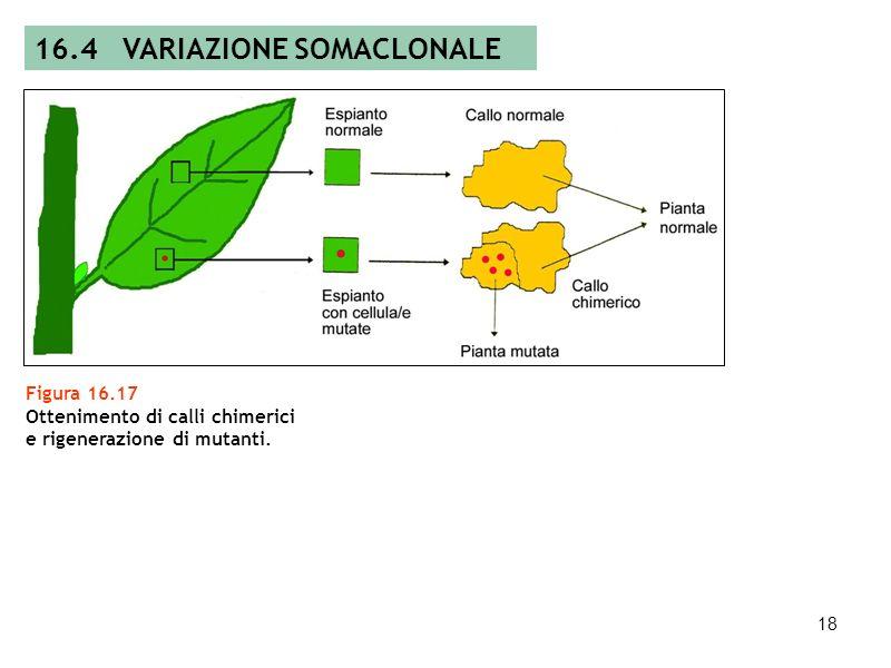 17 Tabella 16.1 Varianti somaclonali isolate in mais ed erba medica. 16.4 VARIAZIONE SOMACLONALE