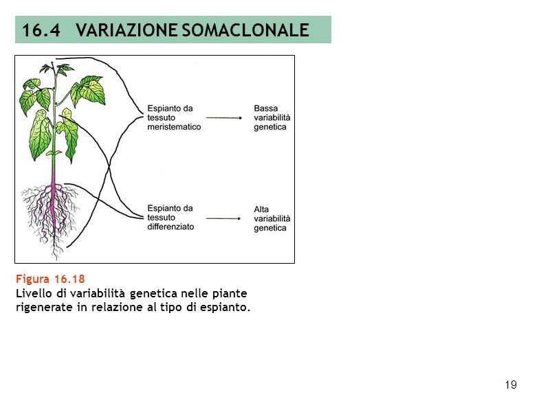 18 Figura 16.17 Ottenimento di calli chimerici e rigenerazione di mutanti. 16.4 VARIAZIONE SOMACLONALE