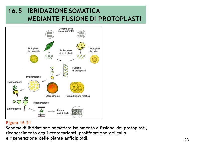 22 16.5 EMBRYO RESCUE: RECUPERO IN VITRO DI EMBRIONI Figura 16.20 Embryo rescue: esempio di recupero in vitro di embrioni di Poa pratensis indotti in