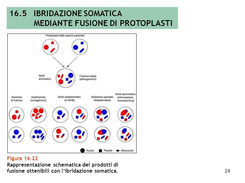 23 16.5 IBRIDAZIONE SOMATICA MEDIANTE FUSIONE DI PROTOPLASTI Figura 16.21 Schema di ibridazione somatica: isolamento e fusione dei protoplasti, ricono