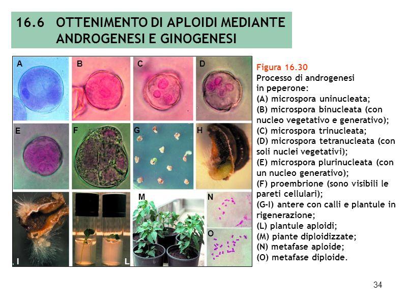 33 Tabella 16.4 Costituzione di alcuni substrati di coltura idonei per linduzione (m-l) androgenetica delle spore, la rigenerazione (m-R) e il manteni