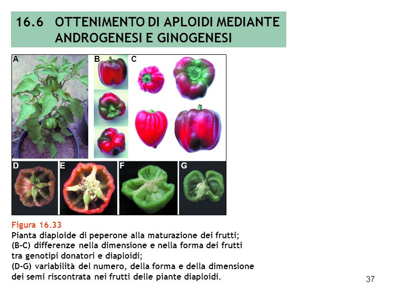 36 Figura 16.32 (A) Cariotipo di una pianta aploide androgenetica (3200 X); (B) cariotipo di una pianta diaploide androgenetica (3200 X) costituiti, r