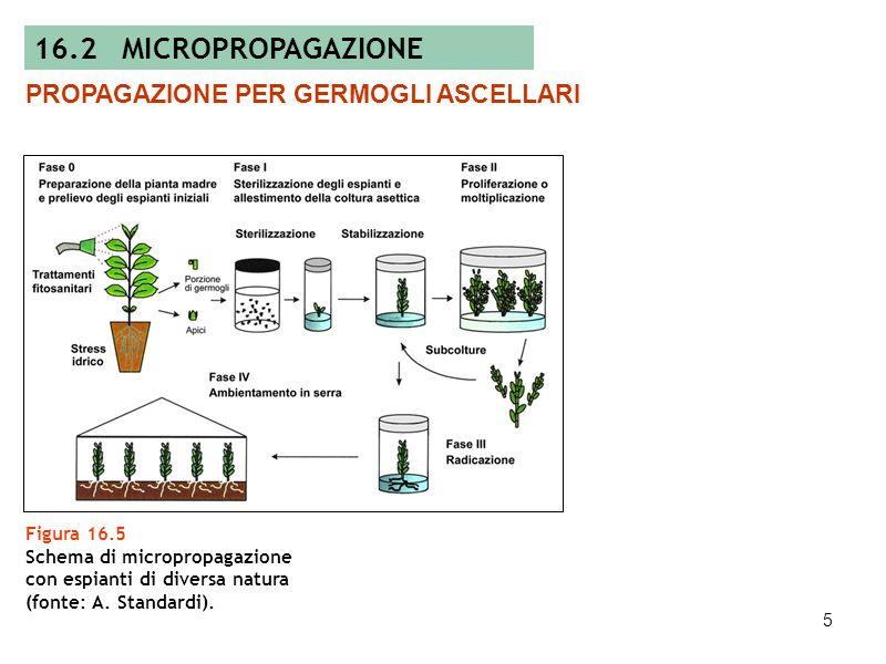 4 Figura 16.4 Esempi di organogenesi ed embriogenesi diretta e indiretta, rispettivamente in giglio (A-C) e in melo (D-E) (foto: A. Standardi). AB D C