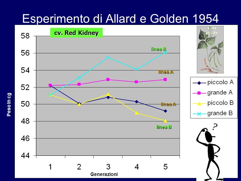Esperimento di Allard e Golden 1954 Generazioni Peso in cg linea B linea A cv. Red Kidney