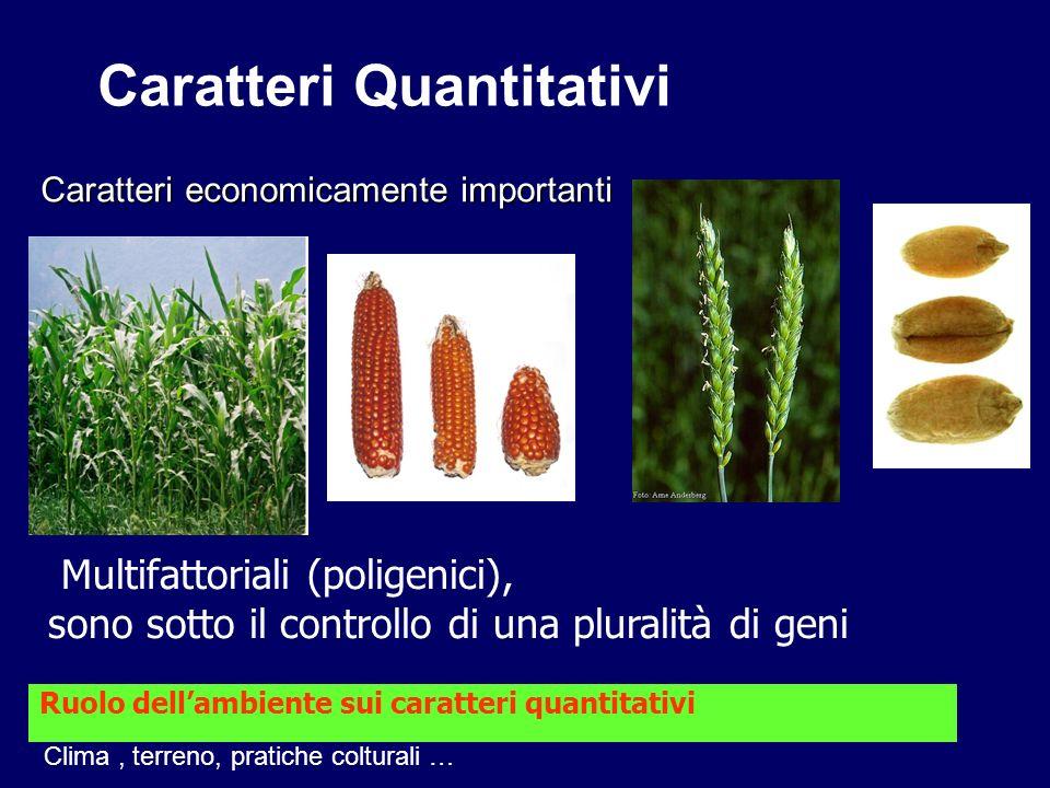 Caratteri Quantitativi Caratteri economicamente importanti Multifattoriali (poligenici), sono sotto il controllo di una pluralità di geni Ruolo dellam