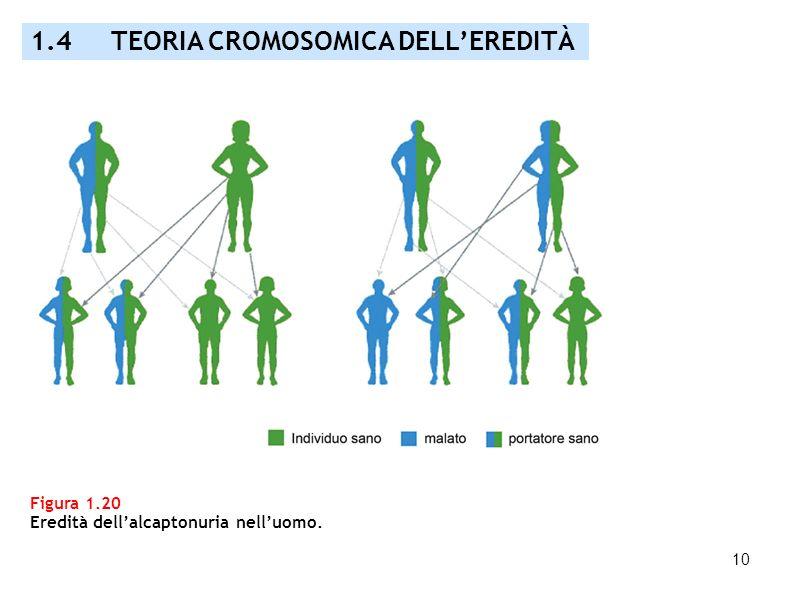 10 Figura 1.20 Eredità dellalcaptonuria nelluomo. 1.4 TEORIA CROMOSOMICA DELLEREDITÀ