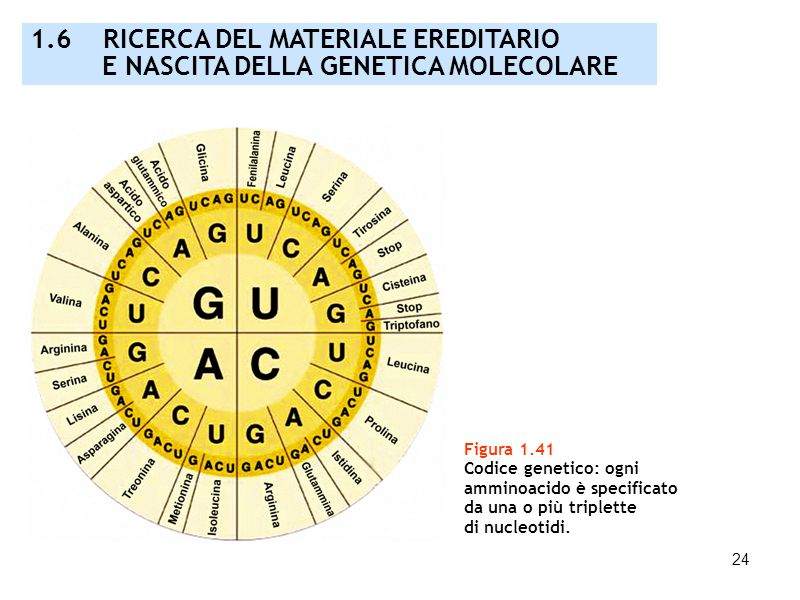 24 Figura 1.41 Codice genetico: ogni amminoacido è specificato da una o più triplette di nucleotidi. 1.6 RICERCA DEL MATERIALE EREDITARIO E NASCITA DE