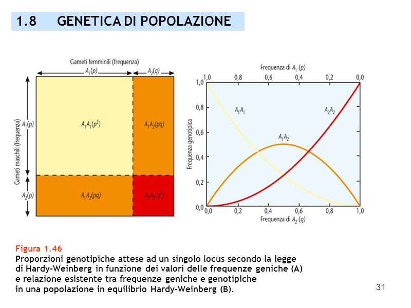 31 Figura 1.46 Proporzioni genotipiche attese ad un singolo locus secondo la legge di Hardy-Weinberg in funzione dei valori delle frequenze geniche (A