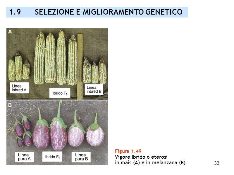 33 Figura 1.49 Vigore ibrido o eterosi in mais (A) e in melanzana (B). 1.9 SELEZIONE E MIGLIORAMENTO GENETICO