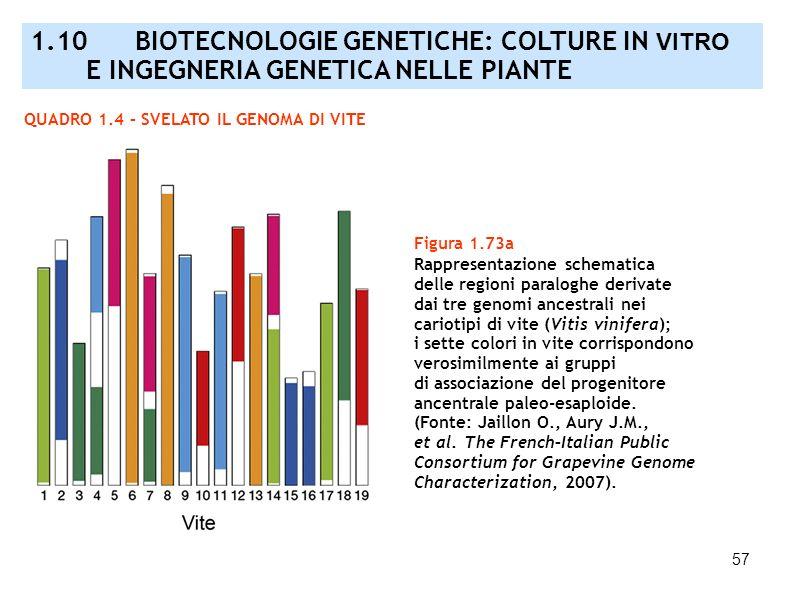 57 QUADRO 1.4 – SVELATO IL GENOMA DI VITE Figura 1.73a Rappresentazione schematica delle regioni paraloghe derivate dai tre genomi ancestrali nei cari