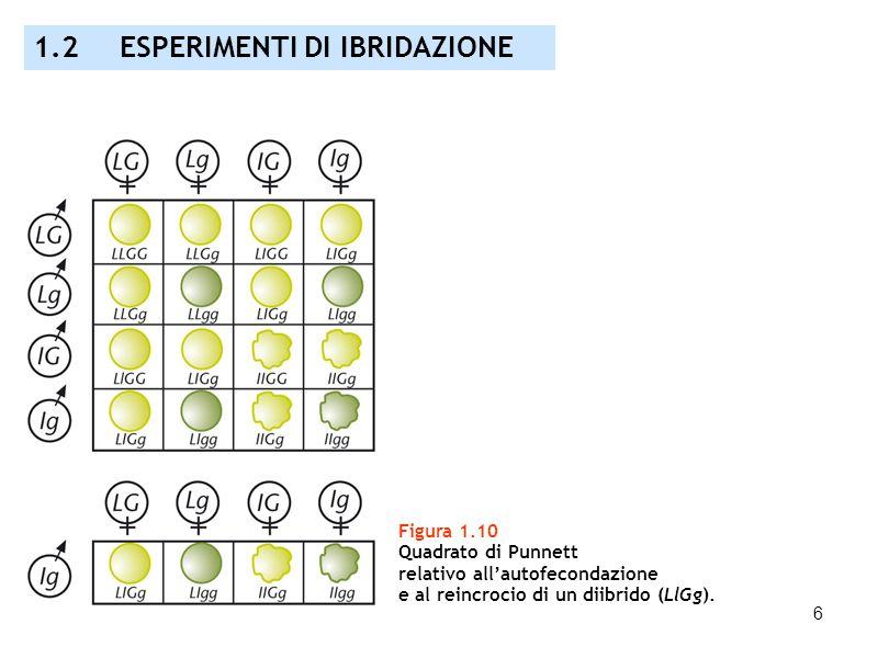 6 Figura 1.10 Quadrato di Punnett relativo allautofecondazione e al reincrocio di un diibrido (LlGg). 1.2 ESPERIMENTI DI IBRIDAZIONE