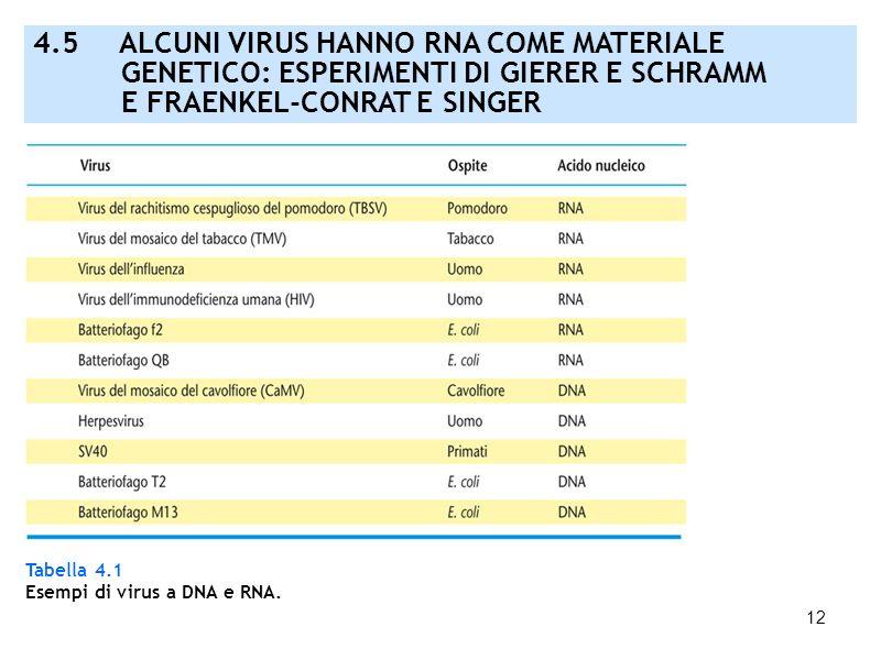 12 Tabella 4.1 Esempi di virus a DNA e RNA. 4.5 ALCUNI VIRUS HANNO RNA COME MATERIALE GENETICO: ESPERIMENTI DI GIERER E SCHRAMM E FRAENKEL-CONRAT E SI