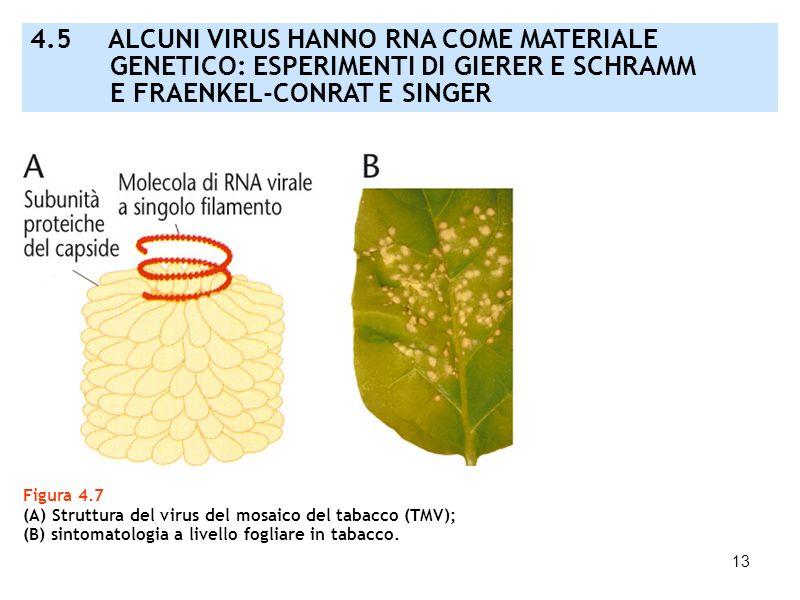 13 Figura 4.7 (A) Struttura del virus del mosaico del tabacco (TMV); (B) sintomatologia a livello fogliare in tabacco. 4.5 ALCUNI VIRUS HANNO RNA COME