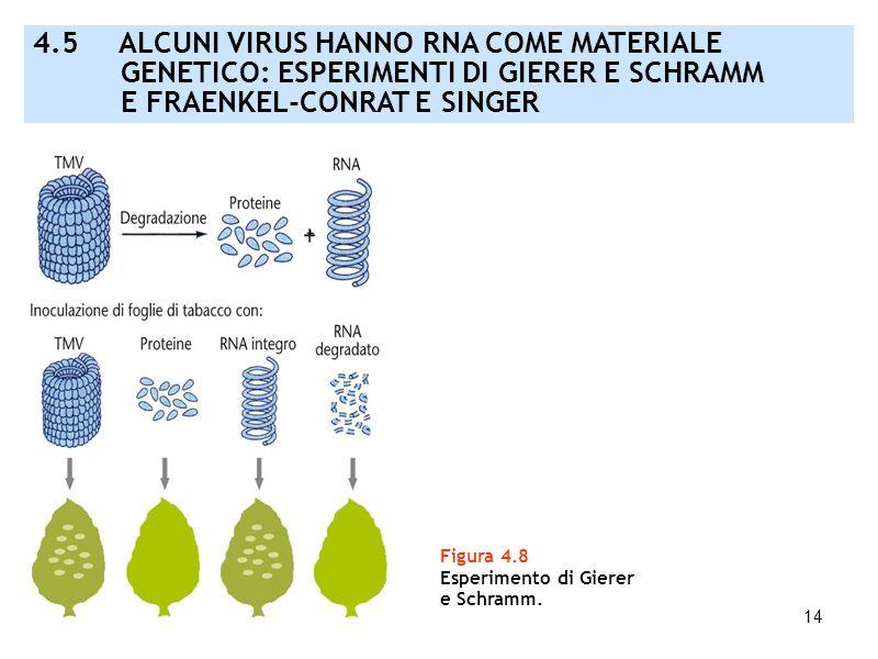 14 Figura 4.8 Esperimento di Gierer e Schramm. 4.5 ALCUNI VIRUS HANNO RNA COME MATERIALE GENETICO: ESPERIMENTI DI GIERER E SCHRAMM E FRAENKEL-CONRAT E