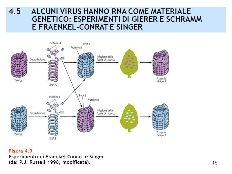 15 Figura 4.9 Esperimento di Fraenkel–Conrat e Singer (da: P.J. Russell 1998, modificata). 4.5 ALCUNI VIRUS HANNO RNA COME MATERIALE GENETICO: ESPERIM